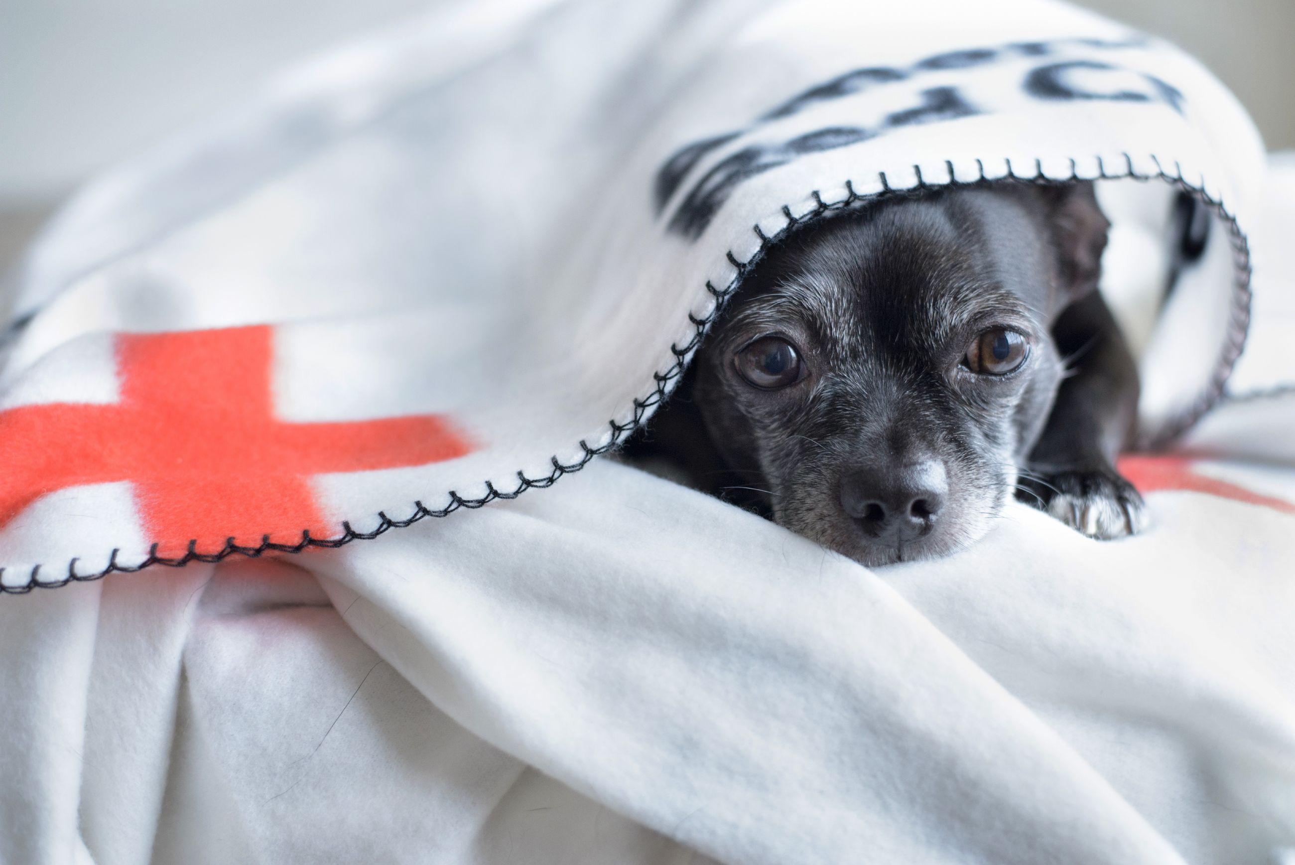 Red Cross pet photo 2018